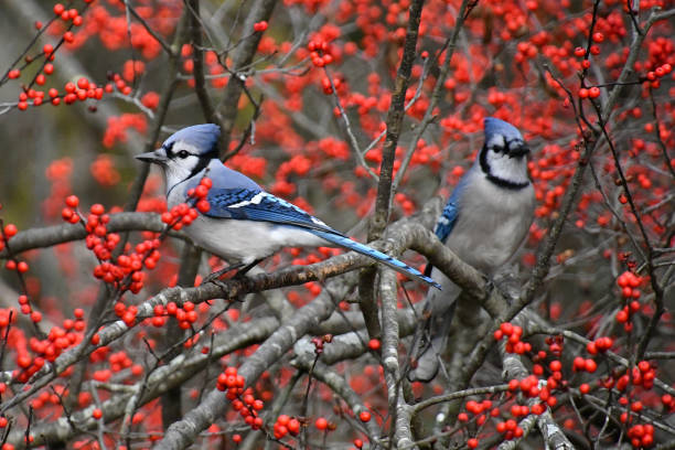 Blue jays in winterberry Blue jays in bush surrounded by red berries songbird stock pictures, royalty-free photos & images
