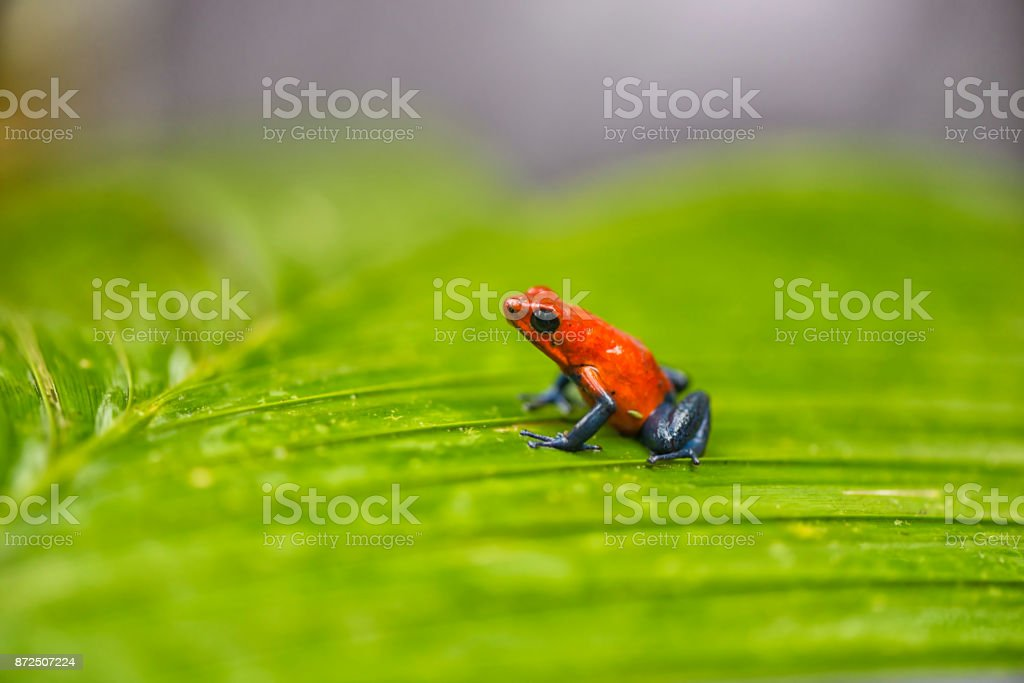 Blue jeans frog stock photo