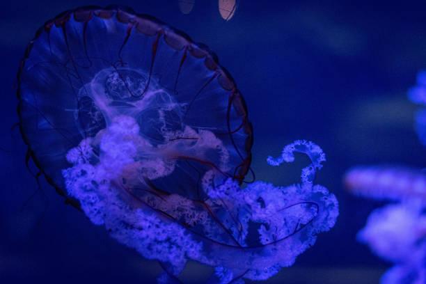 blue jellyfish stock photo