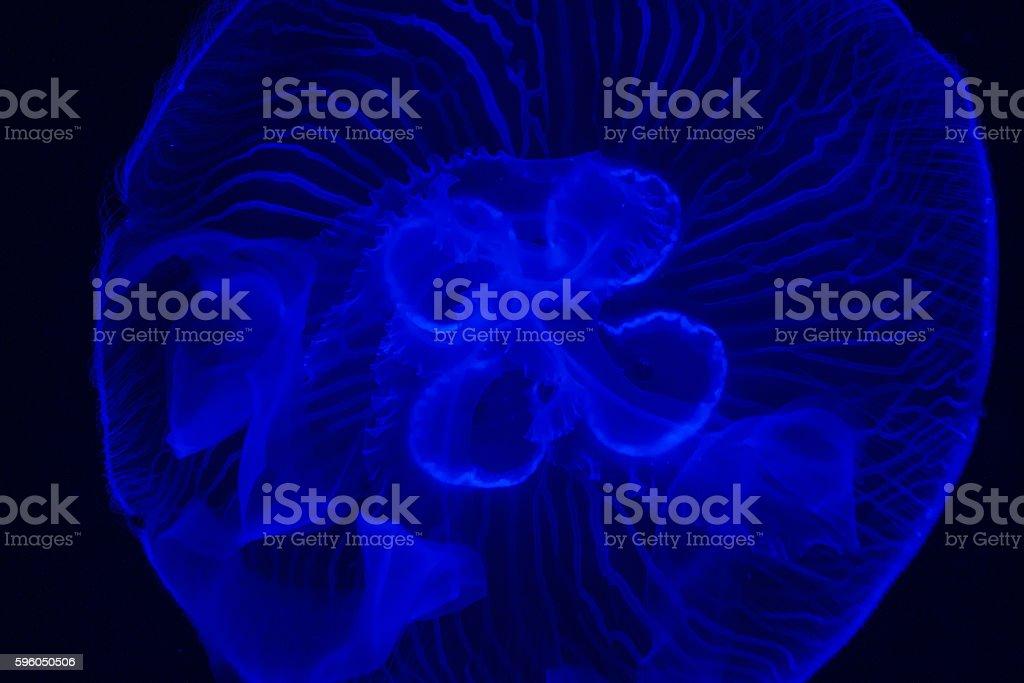 Blue Jellyfish royalty-free stock photo