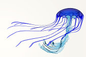 A jellyfish is a soft body, free-swimming aquatic animal with poisonous, stinging tentacles to catch its food.