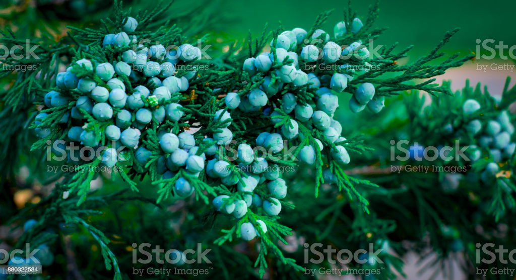 Blue juniper berries on a branch close up stock photo