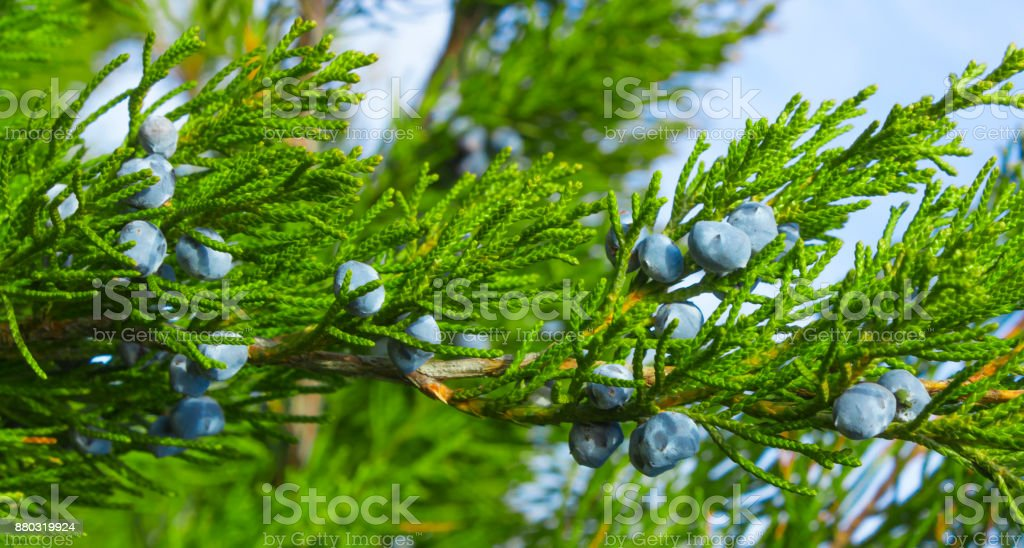 Blue juniper berries on a branch close-up stock photo