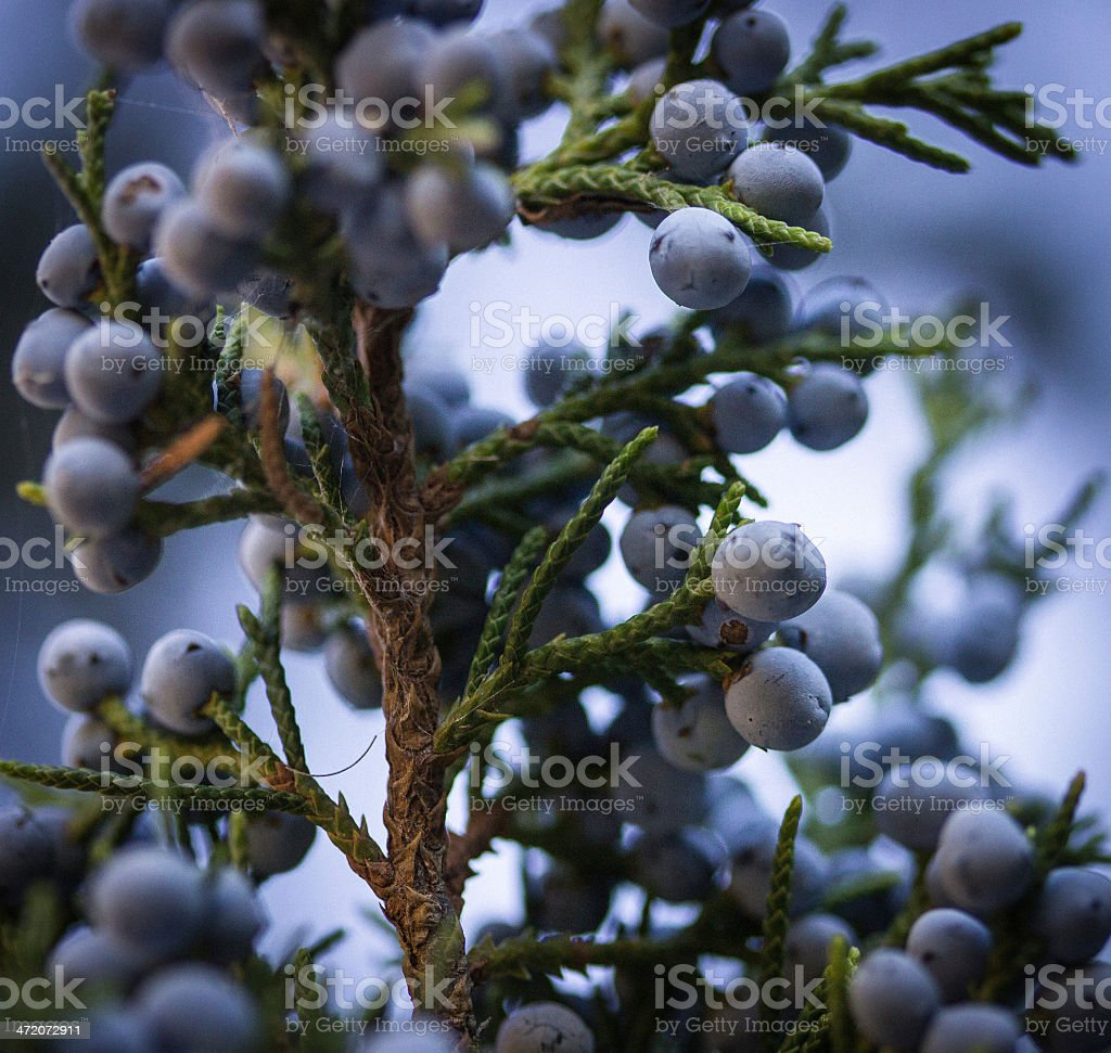 Blue juniper berries stock photo