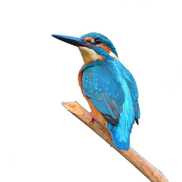 A blue kingfisher bird sitting on a tree branch A beautiful Kingfisher bird, male Common Kingfisher (Alcedo athis), sitting on a branch on white background kingfisher stock pictures, royalty-free photos & images