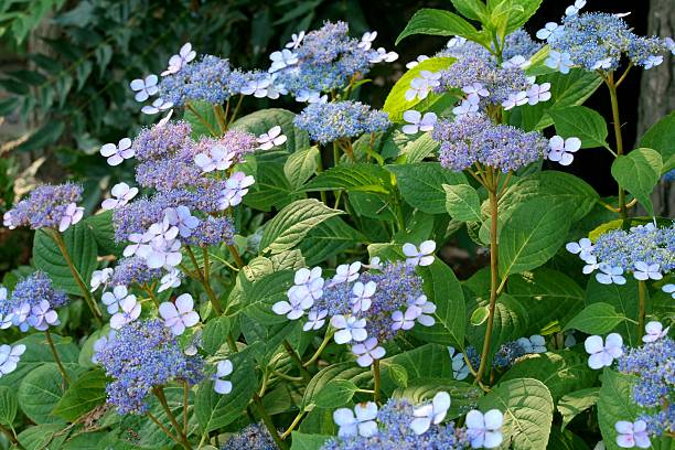 Blue Lacecap hydrangea stock photo
