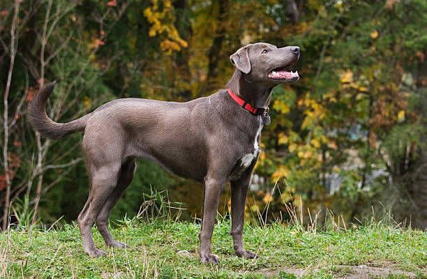 Blue Lacy stock photo