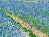 istock Blue Lavender Field 1254474427