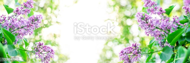 901386728 istock photo Blue lilac bush flower on blurred green background. Springtime blossom concept. Selective soft focus. 1205547663