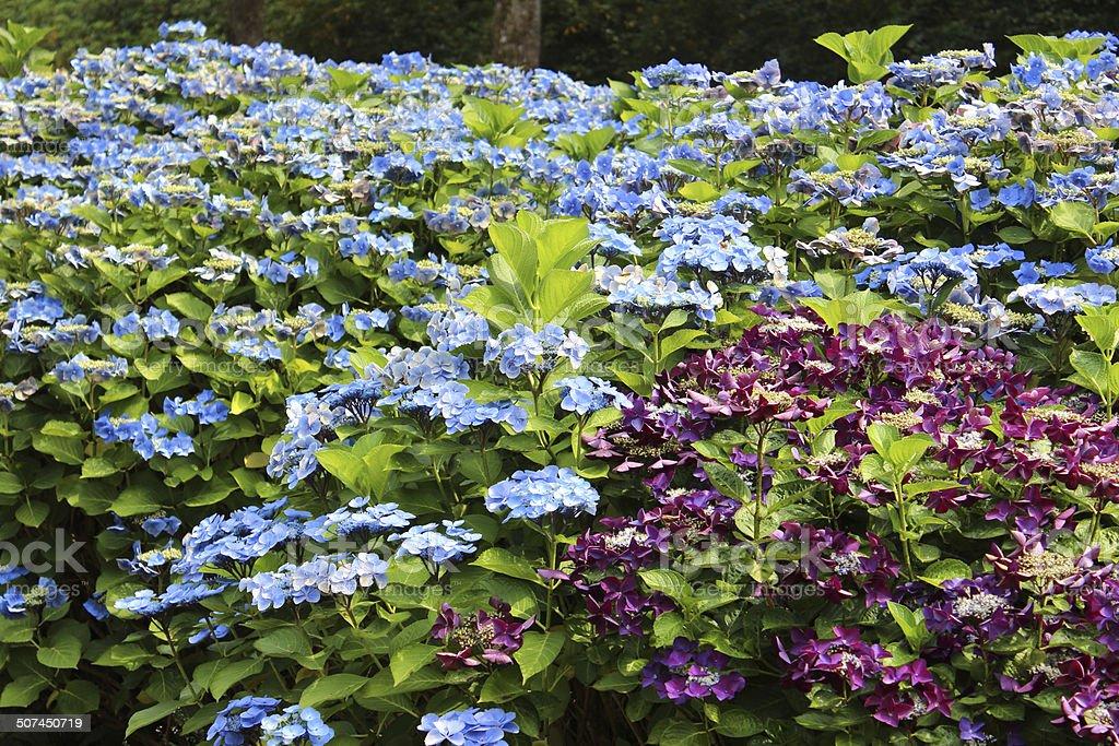 Blau Fliederfarben Hortensie Blumen Lacecap Hortensie Bild ...