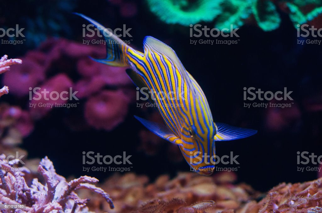 Blue Lined Surgeon Fish deep underwater stock photo