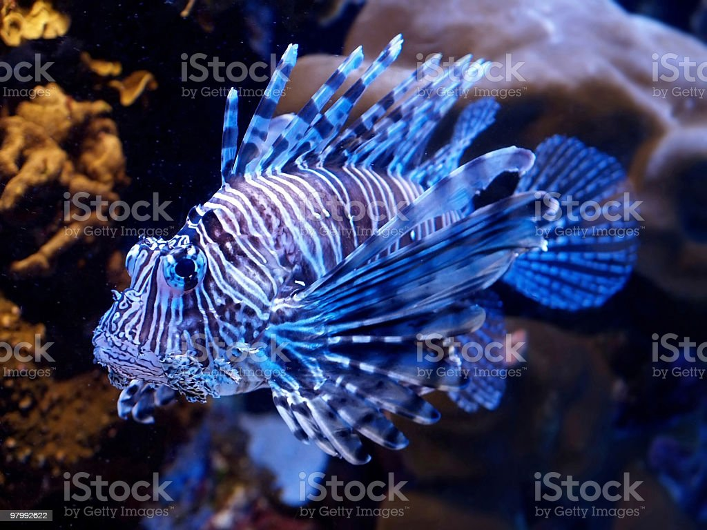Blue lion fish royalty free stockfoto
