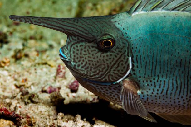 Blue Lips, Long Nose, Unicornfish by Night, Komodo, Indonesia stock photo