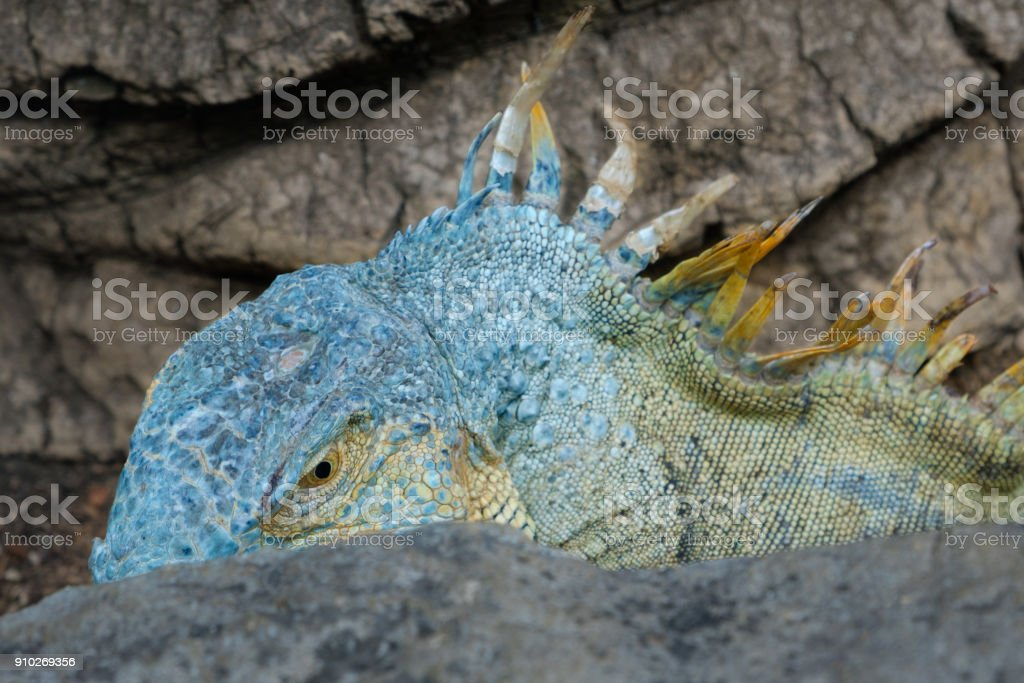 blue lizard - green iguana / American iguana stock photo