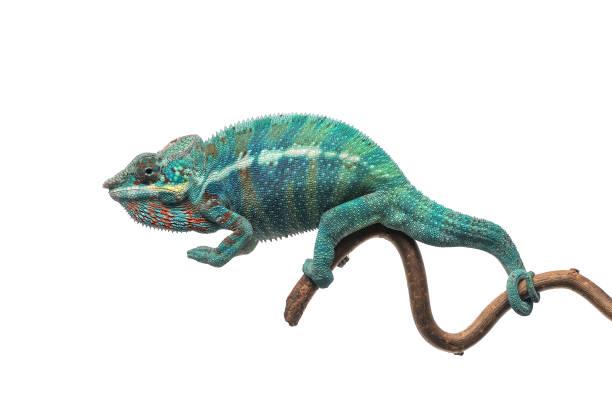 blue lizard panther chameleon isolated on white background - kameleon zdjęcia i obrazy z banku zdjęć