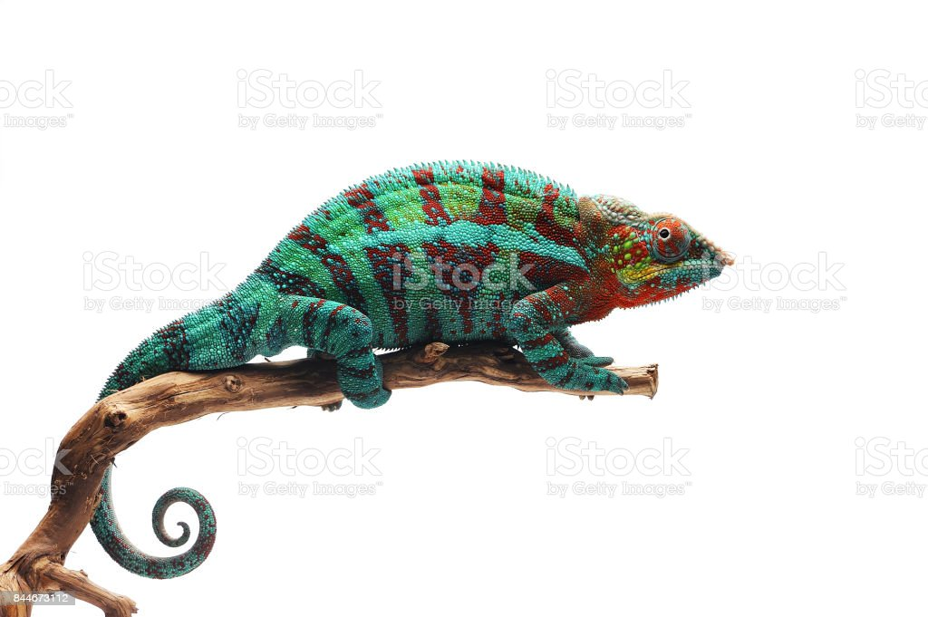 Blue lizard Panther chameleon isolated on white background stock photo