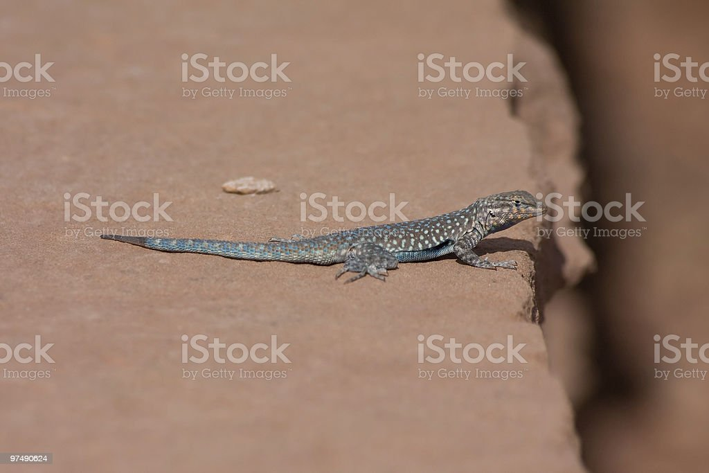 Blue Lizard Red Rock royalty-free stock photo