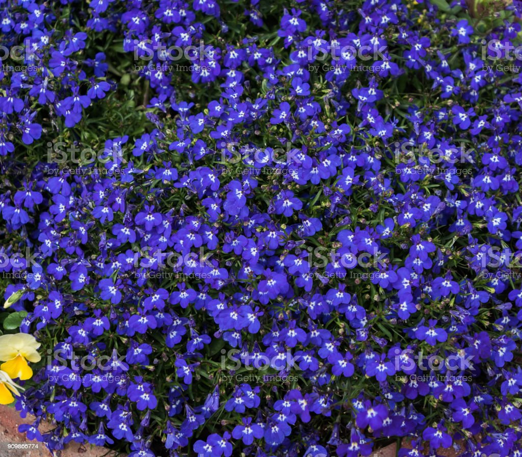 blue lobelia flower mass stock photo
