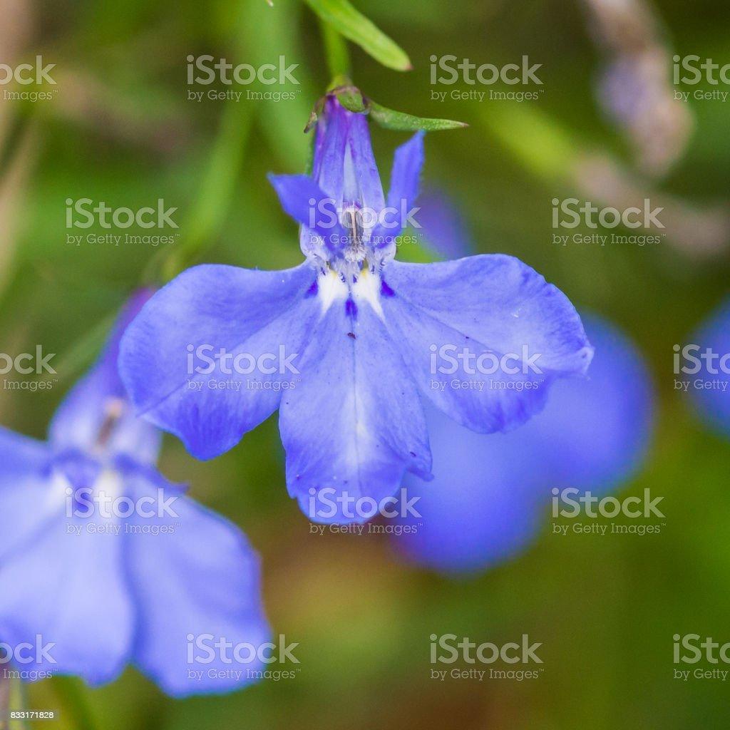 Blue Lobelia stock photo