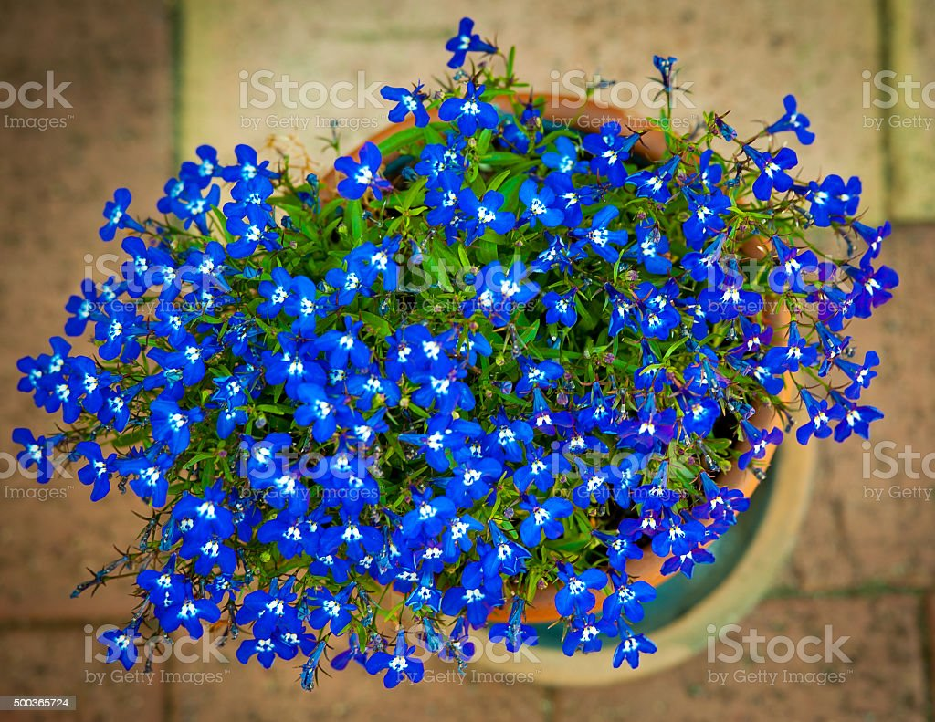 Blue lobelias in pot stock photo