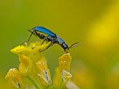 Blue longhorn beetle, Blauer Scheinbockkäfer (Ischnomera cyanea)