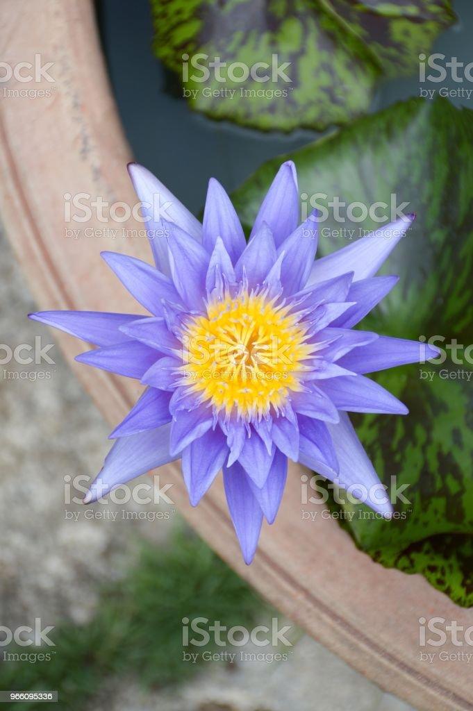 blauer Lotusblume im Garten der Natur - Lizenzfrei Baumblüte Stock-Foto