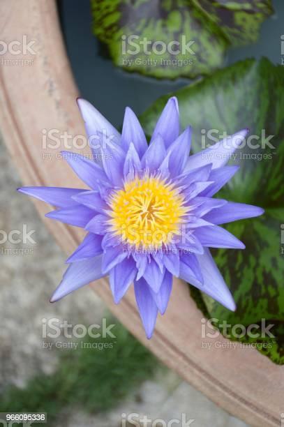 Blå Lotusblomma I Natur Trädgård-foton och fler bilder på Blomkorg - Blomdel
