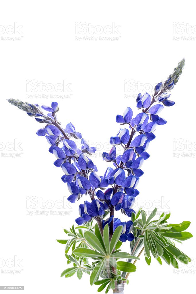royalty free blue lupine pictures images and stock photos
