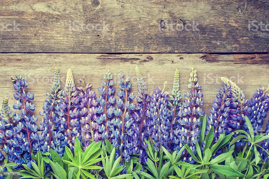 Blue lupines on wooden background. stock photo