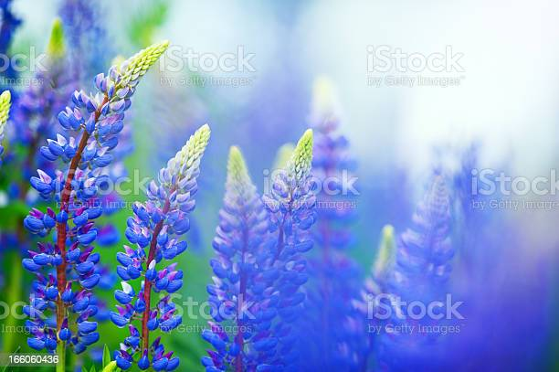 Photo of Blue lupines