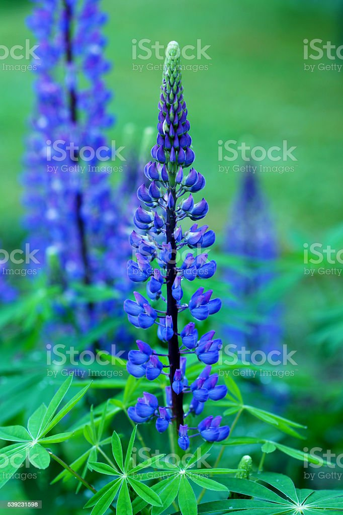 Blue lupins royalty-free stock photo