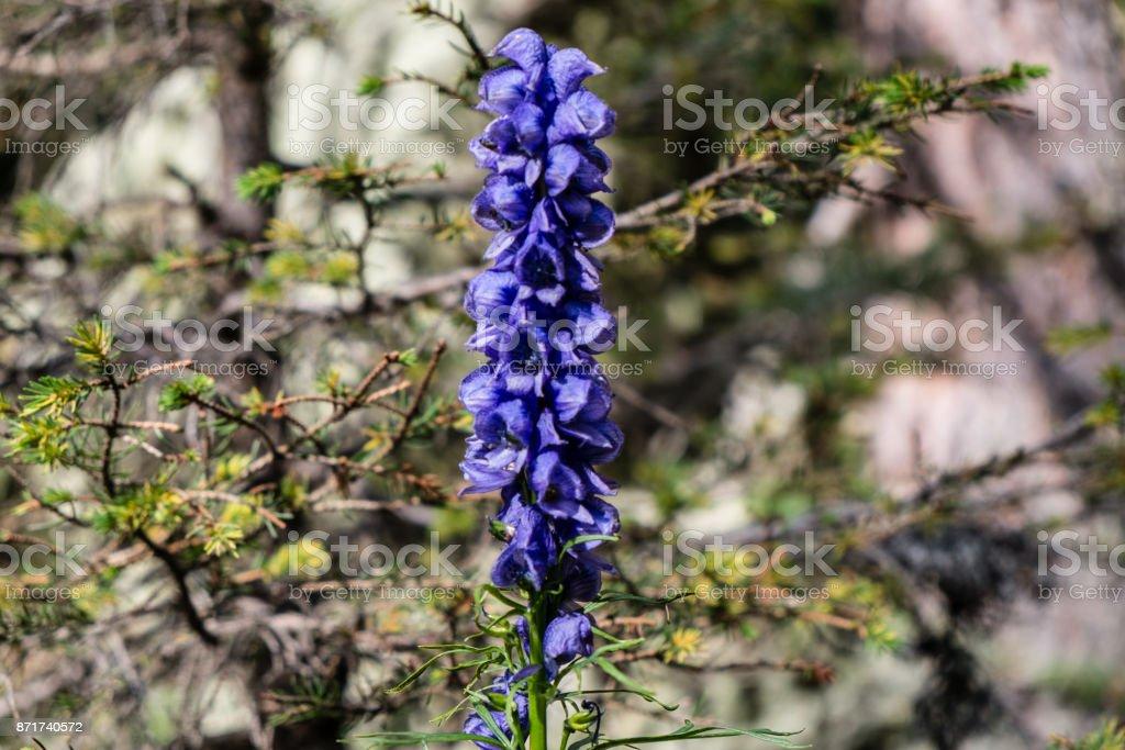 Blue Lupinus stock photo