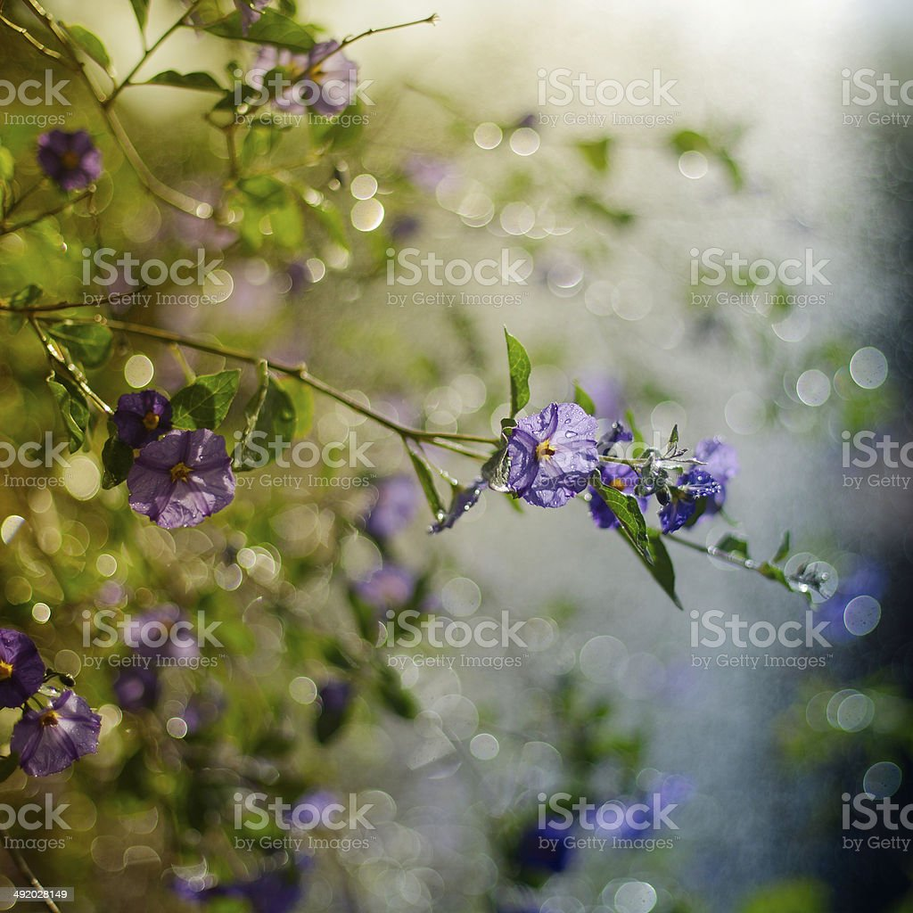 Blue Lycianthes in Rain royalty-free stock photo
