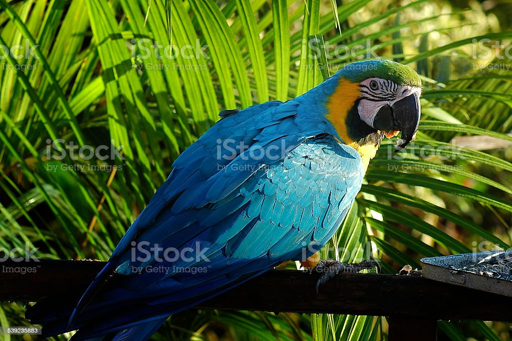 Blue Macaw, Arenal, Costa Rica royalty-free stock photo