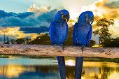 istock Blue Macaw in Pantanal, Brazil 460504349