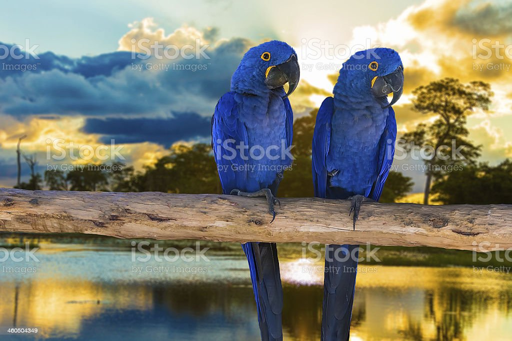 Blue Macaw in Pantanal, Brazil stock photo