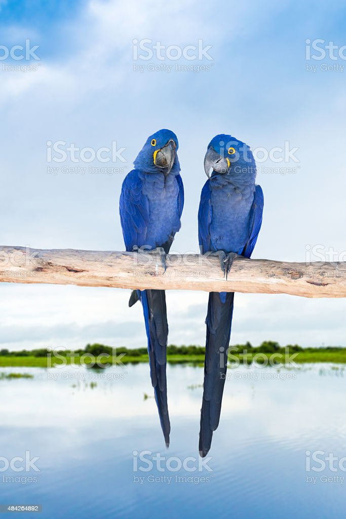 Blue Macaw on the nature stock photo