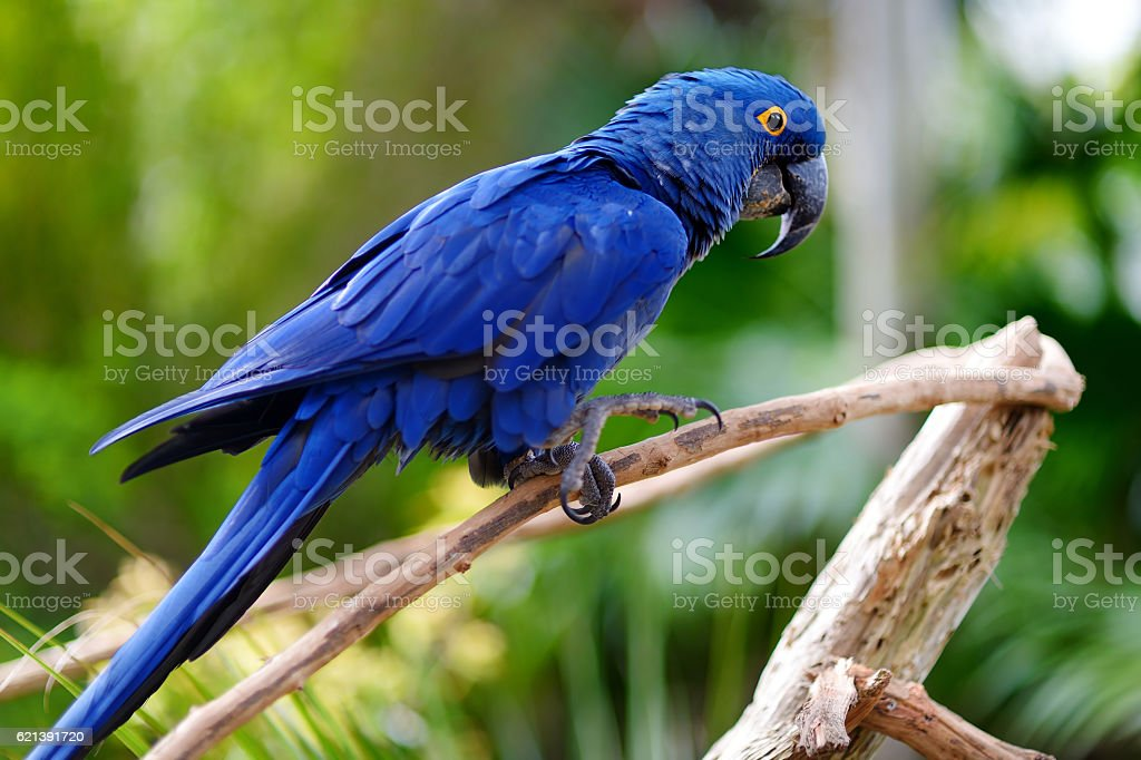 Blue macaw parrot on a branch royalty-free stock photo