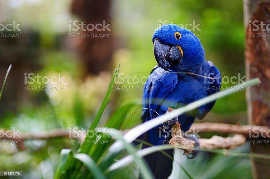 Blue macaw parrot on a branch - foto de acervo