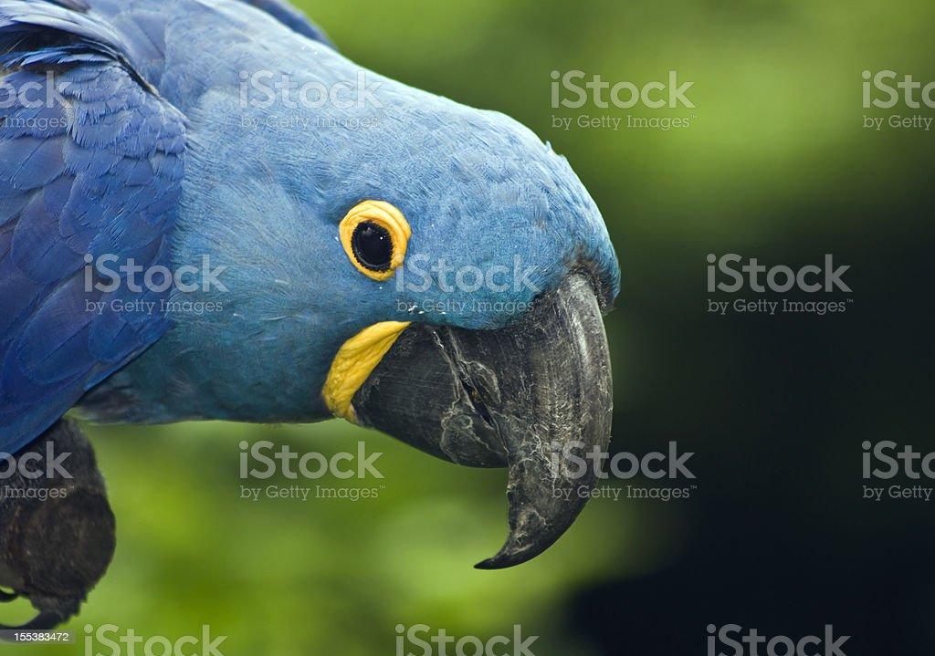 Arara-Azul - foto de acervo