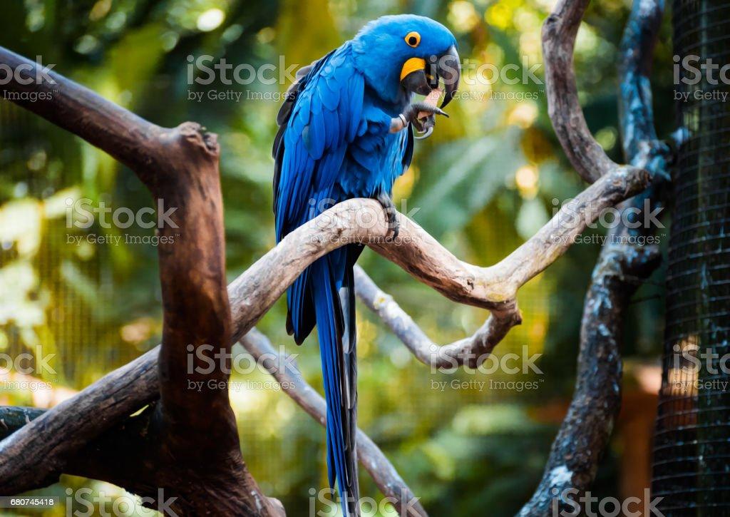 Arara Azul - foto de acervo