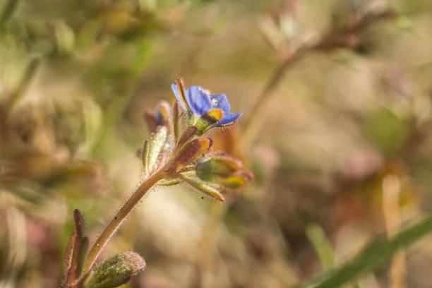 niebieski kwiat makro – zdjęcie