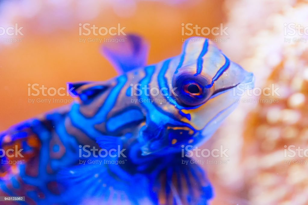 Blue Mandarin fish in Coral at the Philippines very colorful, close-up stock photo