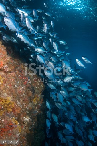 istock Blue maomao and reef 471129167