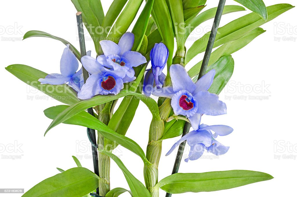 Blue, mauve dendrobium nobile flowers, branch, green leaves stock photo