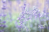 Blue Meadow Sage flower (Salvia Pratensis or Herbaceous Perennial Plant) wildflower vintage toed image.