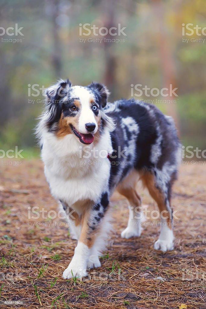 Blue Merle Australian Shepherd Dog Staying And Posing In