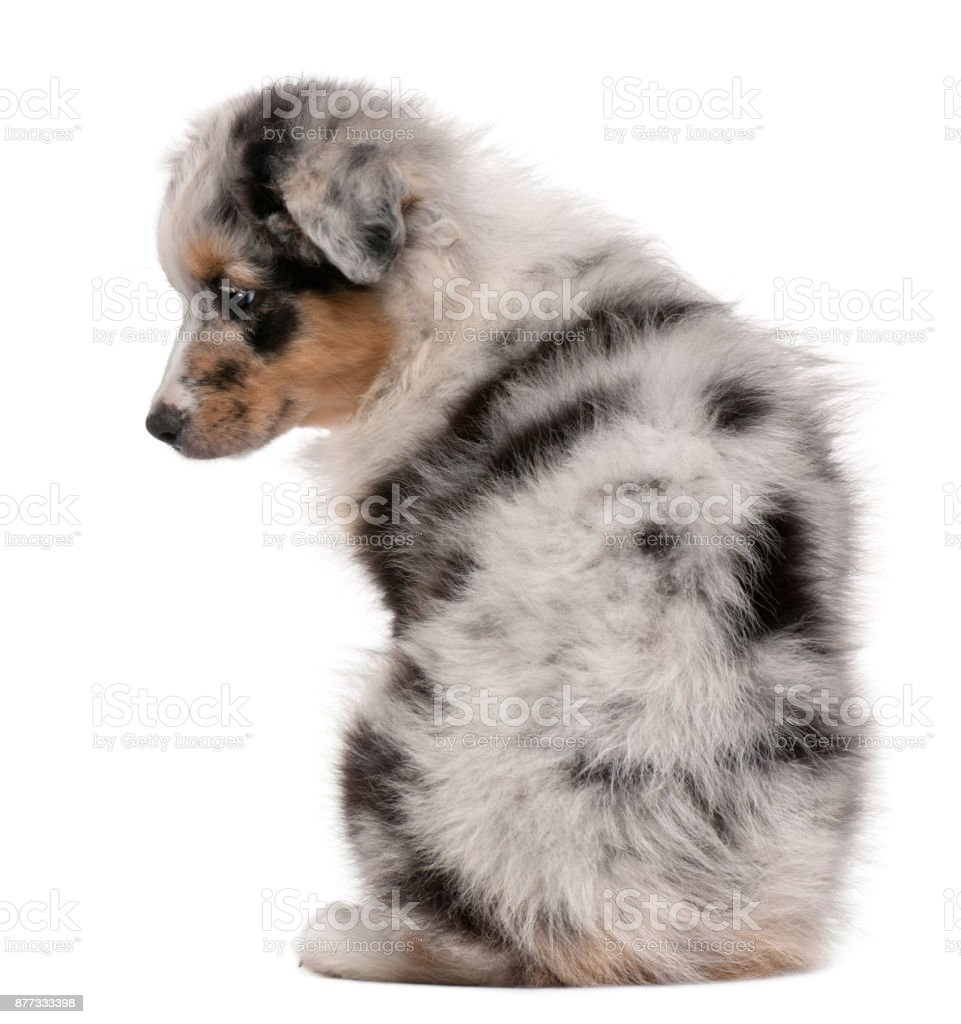 Blue Merle Australian Shepherd puppy, 10 weeks old, sitting in front of white background stock photo