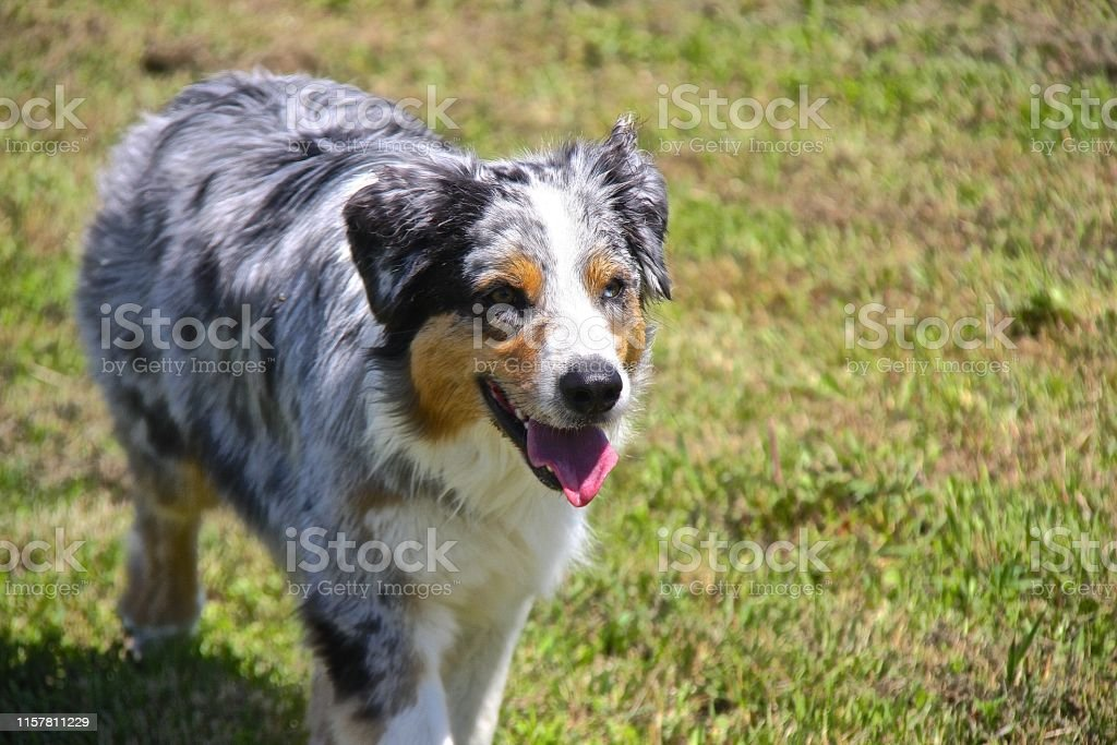 Blue Merle Australian Shepherd Puppy Stock Photo Download Image Now Istock