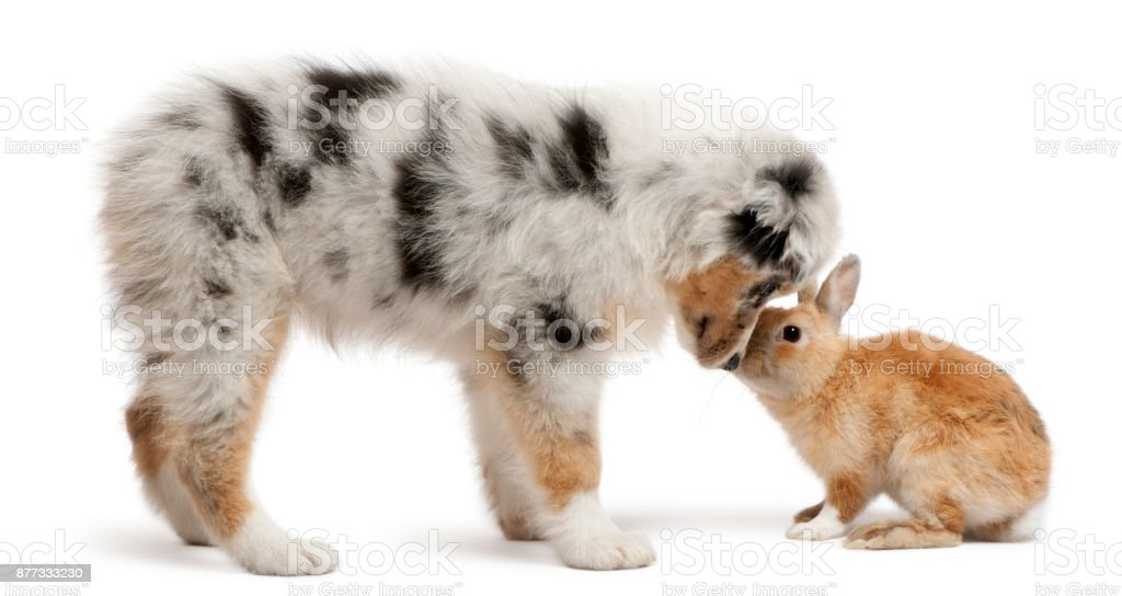 Blue Merle Australian Shepherd Puppy Playing With Rabbit